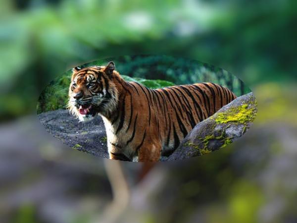 tijger in bos 1