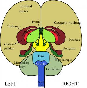 brain-147148_1280